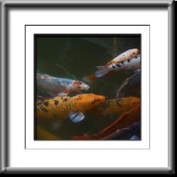 fish, orange, gold